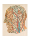 Blood Vessels of the Head from a German Anatomy Text of Ca, 1900 Posters