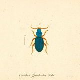 Carabus Fpinibarbis Posters by A. Poiteau