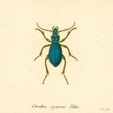 Carabus Cyaneus Prints by A. Poiteau
