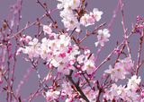 Spring Blossom - Pink Posters by Joseph Eta