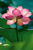 Lotus In Radiance Poster von Nhiem Hoang The