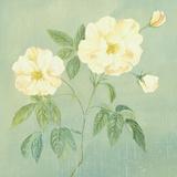 Abundant Rose II Poster by Mimi Roberts