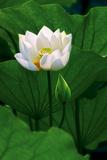 Fior di loto bianco Stampe di Nhiem Hoang The