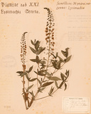 Stricta Loosestrife Posters by H. T. Shores