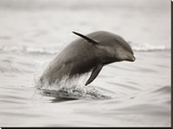 Curious Dolphin 2 Stretched Canvas Print by Steve Munch