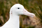 Albatross Portrait Photographic Print by Howard Ruby