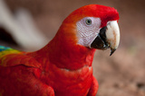 Scarlet Macaw Modeling Photographic Print by Howard Ruby