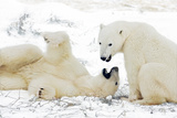 Polar Bears Playing Photographic Print by Howard Ruby