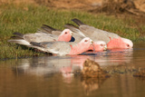 Galah Drinking Photographic Print by Howard Ruby