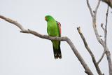 Eclectus Parrot Stampa fotografica di Howard Ruby