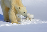 Polar Bear Teaching Cubs Photographic Print by Howard Ruby