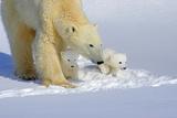 Polar Bear Teaching Cubs Photographic Print by Howard Ruby