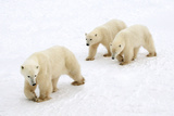 Mother and Cubs in Formation Photographic Print by Howard Ruby