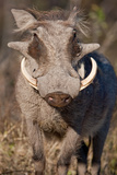 Warthog Photographic Print by Howard Ruby
