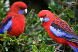 Crimson Rosella Photographic Print by Howard Ruby