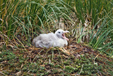 Baby Albatross Photographic Print by Howard Ruby
