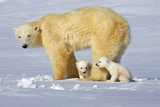 Polar Bear Family Photographic Print by Howard Ruby