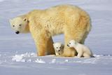 Polar Bear Family Photographic Print by Howard Ruby