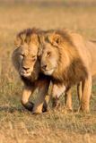 Bonding Lions Fotografisk tryk af Howard Ruby