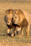 Bonding Lions Photographic Print by Howard Ruby