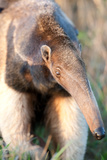 Portrait of an Anteater Photographic Print by Howard Ruby