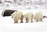 Polar Family Line Photographic Print by Howard Ruby