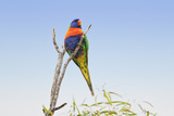 Rainbow Lorikeet Photographic Print by Howard Ruby