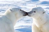 Kissing Polar Bears I Photographic Print by Howard Ruby