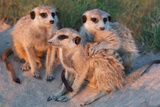 Meerkat Family Photographic Print by Howard Ruby