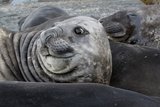 Seal Profile Photographic Print by Howard Ruby