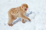 Baby Snow Monkey Photographic Print by Howard Ruby