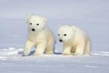 Polar Bear Twins Fotografisk tryk af Howard Ruby