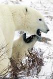 Polar Bear Bite Photographic Print by Howard Ruby