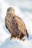 Snow Hawk Photographic Print by Howard Ruby