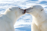 Kissing Polar Bears II Fotografisk trykk av Howard Ruby