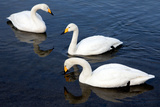 Three Swans Photographic Print by Howard Ruby