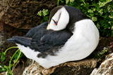 Sleeping Puffin Photographic Print by Howard Ruby