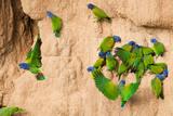Blue-Headed Parrots at Clay-Lick II Stampa fotografica di Howard Ruby