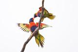 Rainbow Lorikeet Stampa fotografica di Howard Ruby