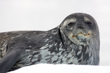 Seal on Ice Photographic Print by Howard Ruby