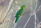 Red-Winged Parrot on a Branch Stampa fotografica di Howard Ruby