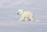 Lone Polar Bear Cub Photographic Print by Howard Ruby