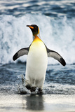 King Penguin Coming Out of the Ocean Photographic Print by Howard Ruby