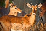 Sunlight Impala Photographic Print by Howard Ruby