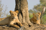 Lionesses in Waiting Photographic Print by Howard Ruby