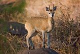 Klipspringer Perch Photographic Print by Howard Ruby