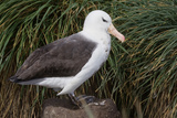 Albatross on a Rock Photographic Print by Howard Ruby