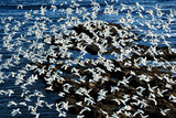 Birds in Flight Photographic Print by Howard Ruby