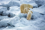 Mother Polar Bear Leading Her Young Photographic Print by Howard Ruby