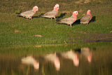 Galah Reflection Photographic Print by Howard Ruby